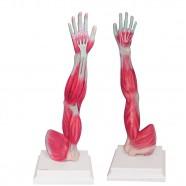 Imagem - Braço com Músculos Deltóide e Bráquio Anatomic cód: MKP001043000076