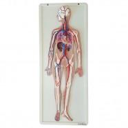 Imagem - Sistema Circulatório em Prancha Modelo Anatomia cód: MKP001043000639
