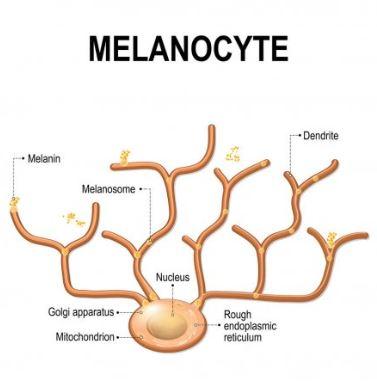 melanócito