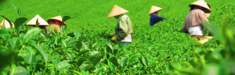 Chá a granel x Chá de sachê: mitos e verdades sobre as duas formas de consumir a bebida